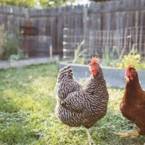 Backyard Chicken Farming For Eggs And Meat